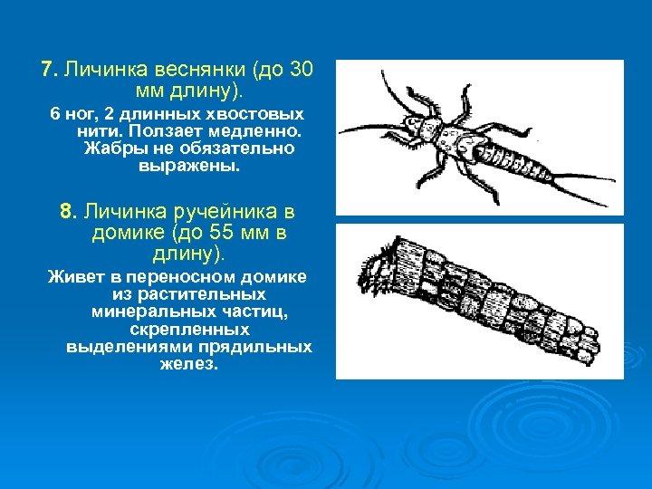 7. Личинка веснянки (до 30 мм длину). 6 ног, 2 длинных хвостовых нити. Ползает
