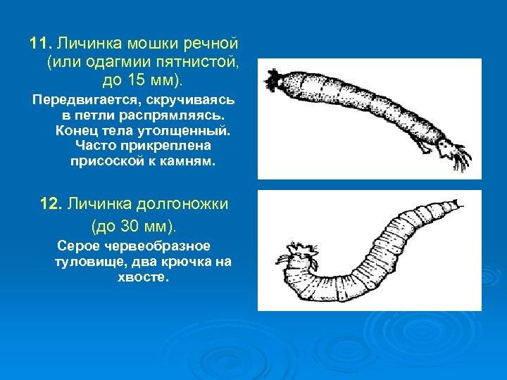 11. Личинка мошки речной (или одагмии пятнистой, до 15 мм). Передвигается, скручиваясь в петли