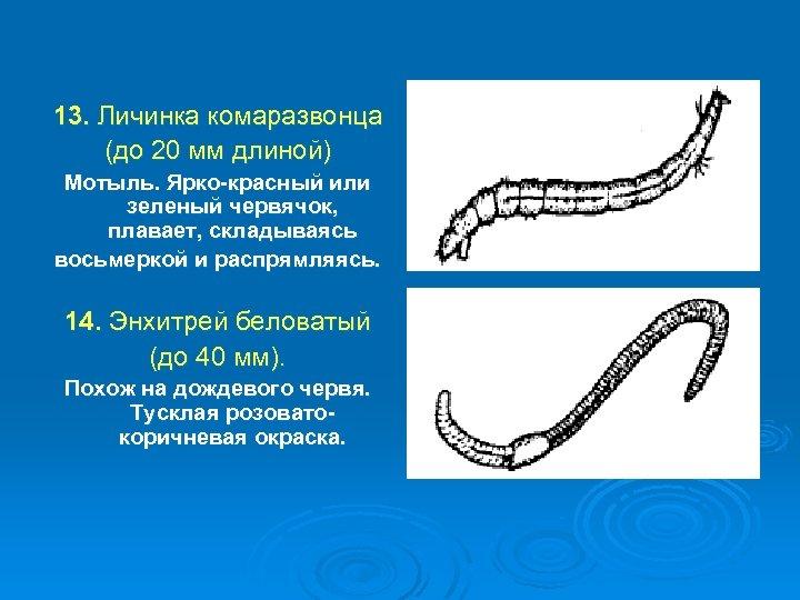 13. Личинка комаразвонца (до 20 мм длиной) Мотыль. Ярко-красный или зеленый червячок, плавает, складываясь