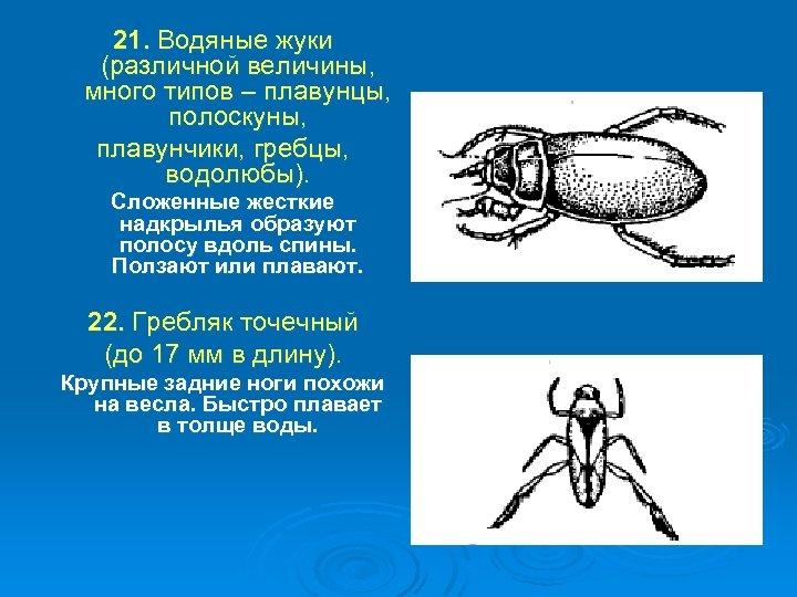 21. Водяные жуки (различной величины, много типов – плавунцы, полоскуны, плавунчики, гребцы, водолюбы). Сложенные