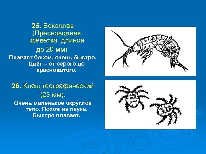 25. Бокоплав (Пресноводная креветка, длиной до 20 мм). Плавает боком, очень быстро. Цвет –
