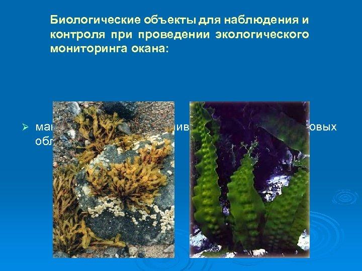 Биологические объекты для наблюдения и контроля при проведении экологического мониторинга окана: Ø макроводоросли в