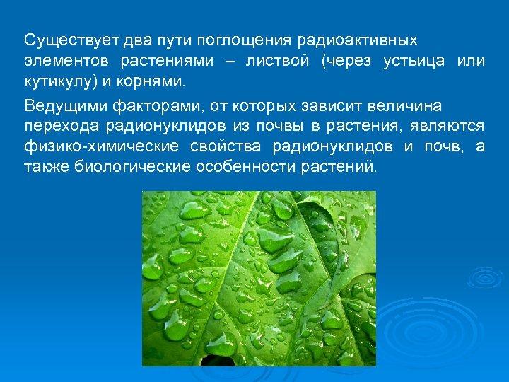 Существует два пути поглощения радиоактивных элементов растениями – листвой (через устьица или кутикулу) и