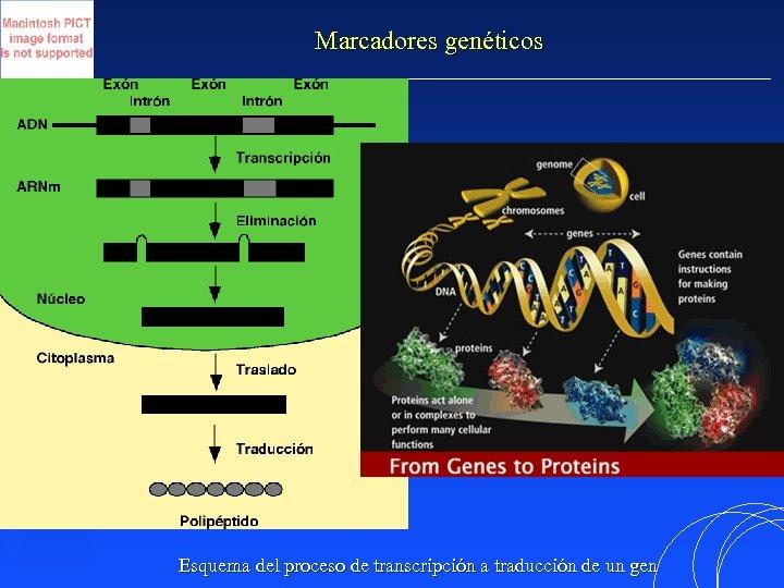 Marcadores genéticos Esquema del proceso de transcripción a traducción de un gen