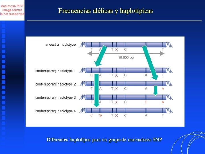Frecuencias alélicas y haplotípicas Diferentes haplotipos para un grupo de marcadores SNP