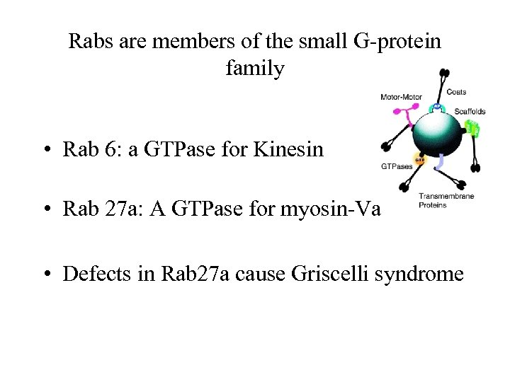 Rabs are members of the small G-protein family • Rab 6: a GTPase for