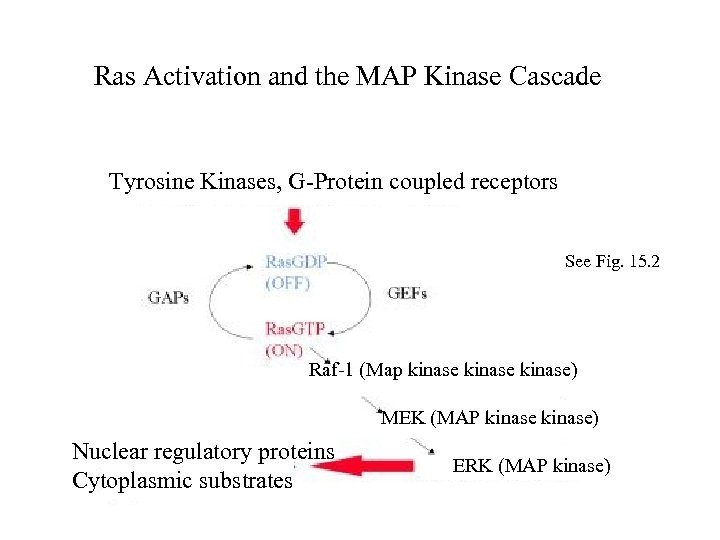 Ras Activation and the MAP Kinase Cascade Tyrosine Kinases, G-Protein coupled receptors See Fig.