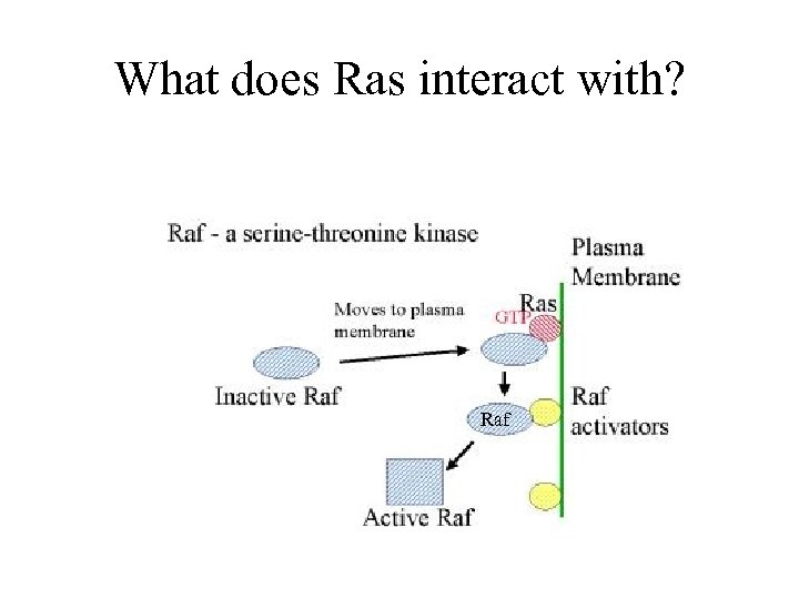 What does Ras interact with? Raf