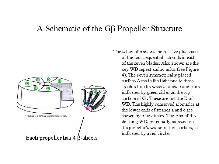 A Schematic of the Gb Propeller Structure Each propeller has 4 b-sheets The schematic