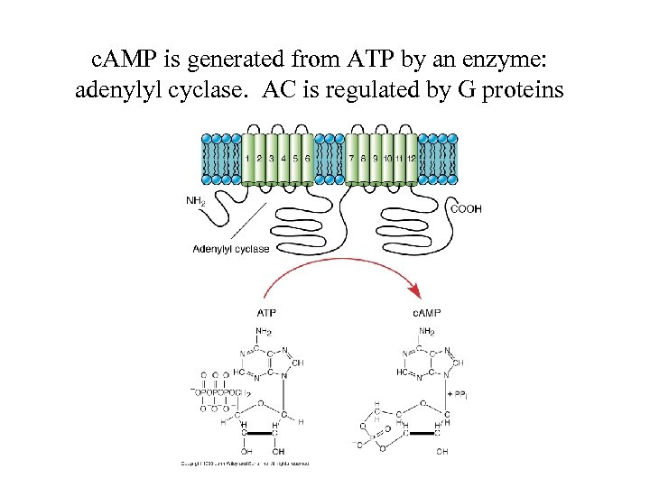 c. AMP is generated from ATP by an enzyme: adenylyl cyclase. AC is regulated