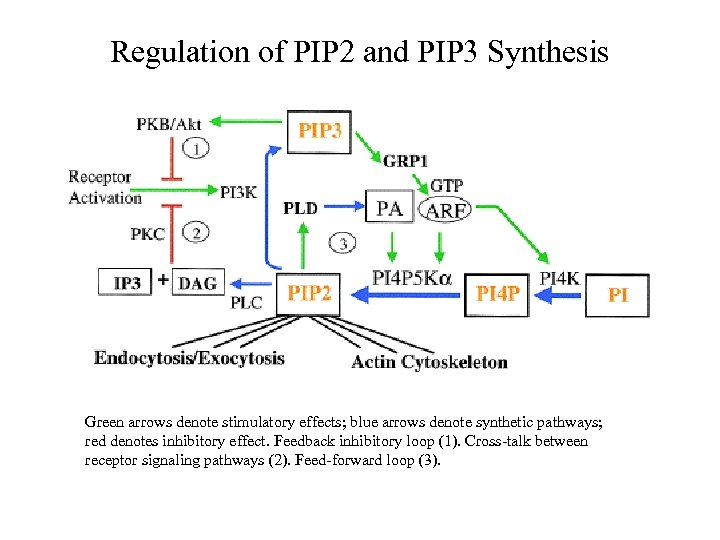 Regulation of PIP 2 and PIP 3 Synthesis Green arrows denote stimulatory effects; blue