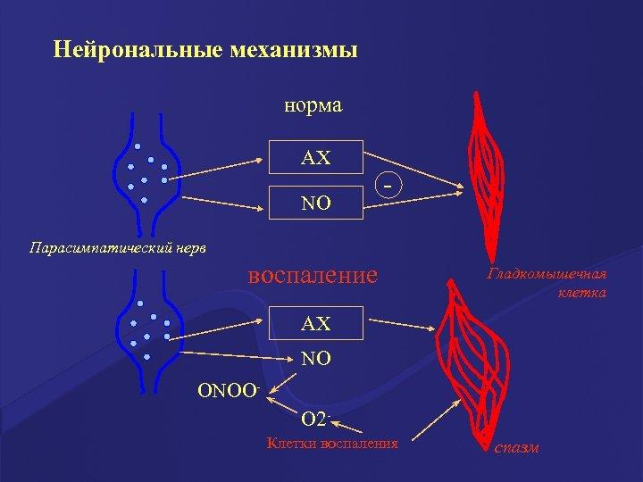 Нейрональные механизмы норма АХ NO - Парасимпатический нерв воспаление Гладкомышечная клетка АХ NO ОNOОО