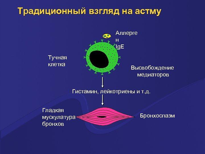 Традиционный взгляд на астму Аллерге н Ig. E Тучная клетка Высвобождение медиаторов Гистамин, лейкотриены