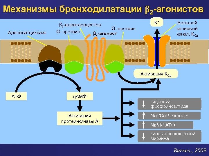 Механизмы бронходилатации β 2 -агонистов β 2 -адренорецептор Аденилатциклаза G- протеин К+ Большой калиевый