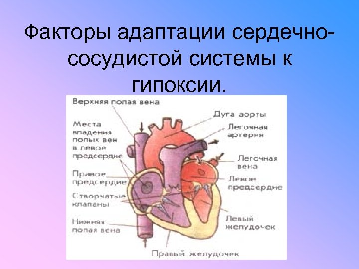 Факторы адаптации сердечно- сосудистой системы к гипоксии.