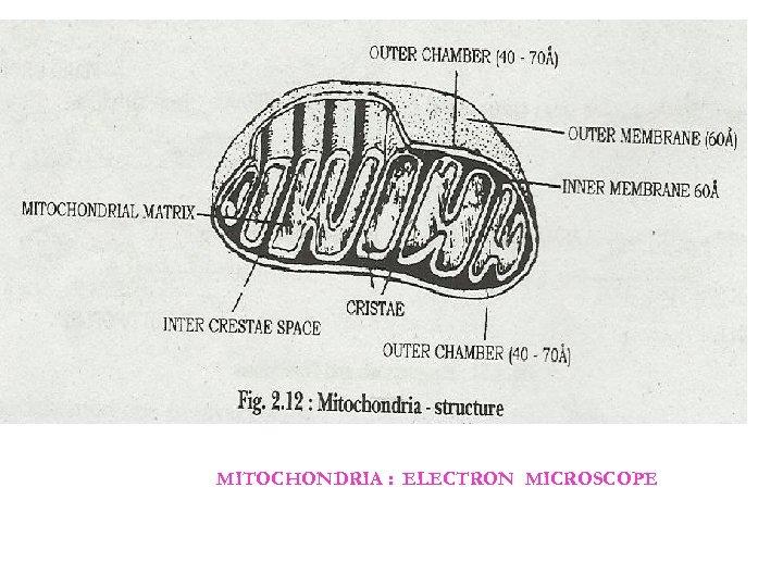 MITOCHONDRIA : ELECTRON MICROSCOPE