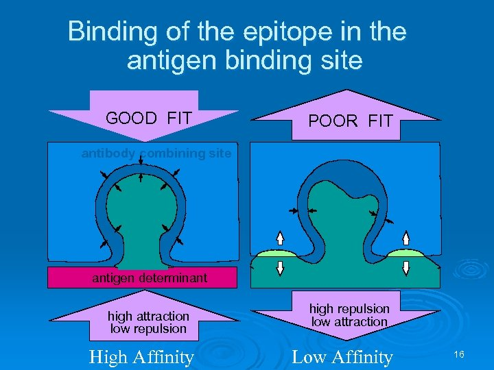 Binding of the epitope in the antigen binding site GOOD FIT POOR FIT antibody