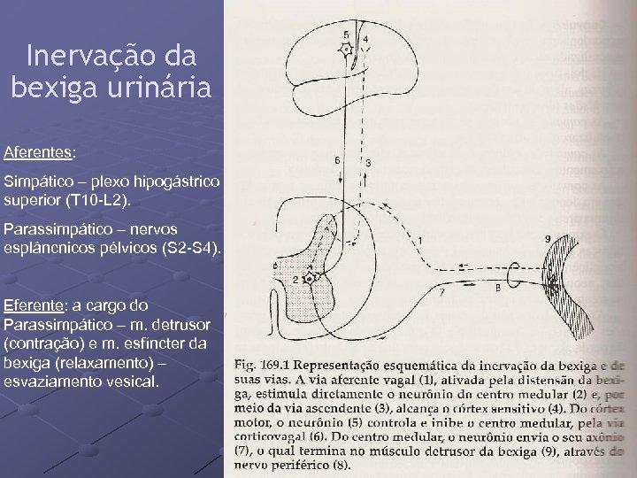 Inervação da bexiga urinária Aferentes: Simpático – plexo hipogástrico superior (T 10 -L 2).
