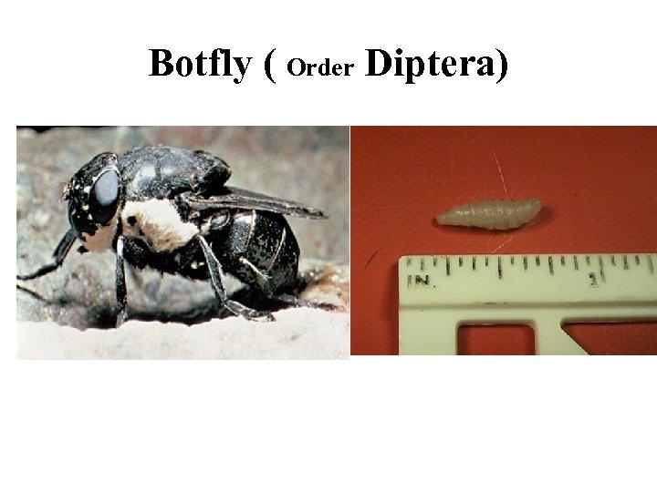 Botfly ( Order Diptera)