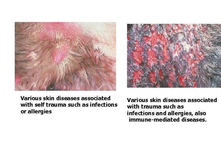 Various skin diseases associated with self trauma such as infections or allergies Various skin