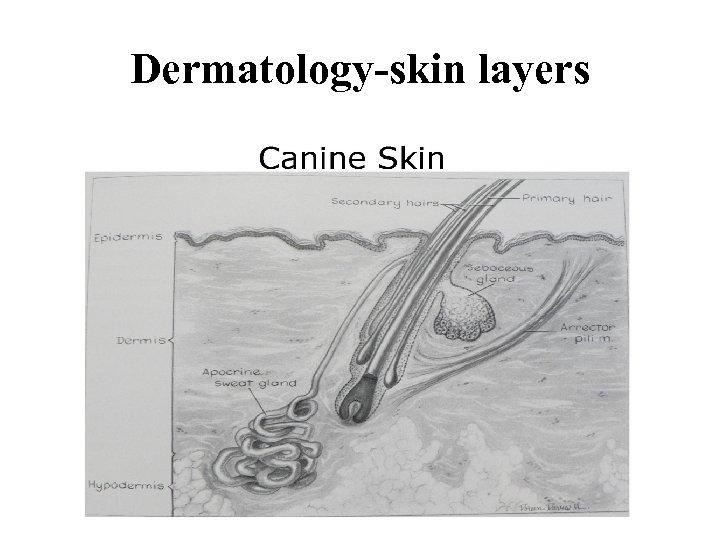 Dermatology-skin layers