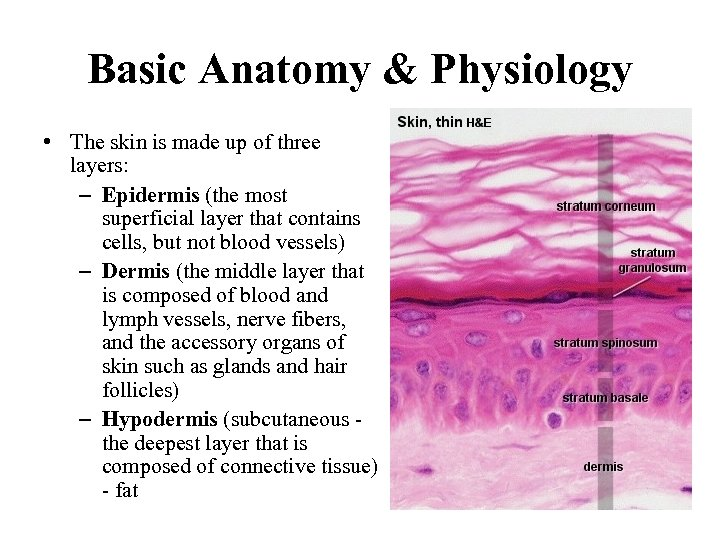 Basic Anatomy & Physiology • The skin is made up of three layers: –