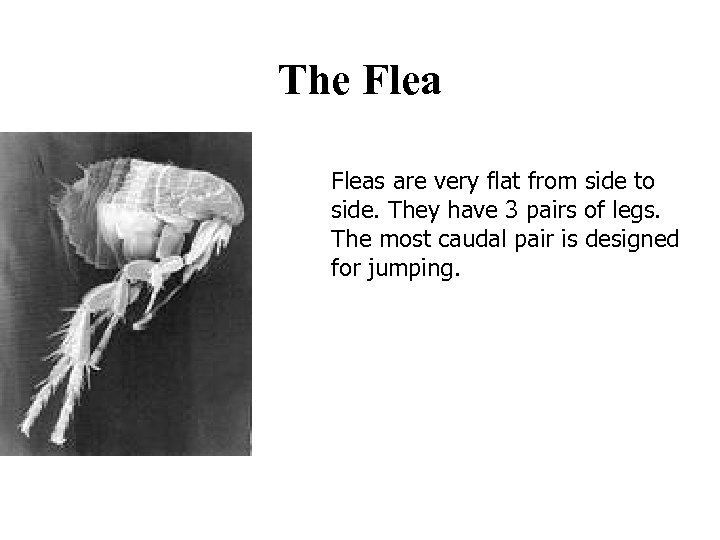 The Fleas are very flat from side to side. They have 3 pairs of