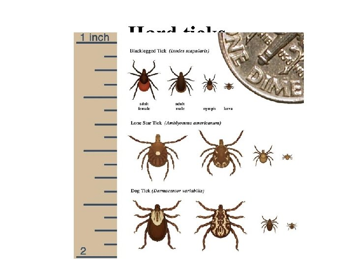 Hard ticks