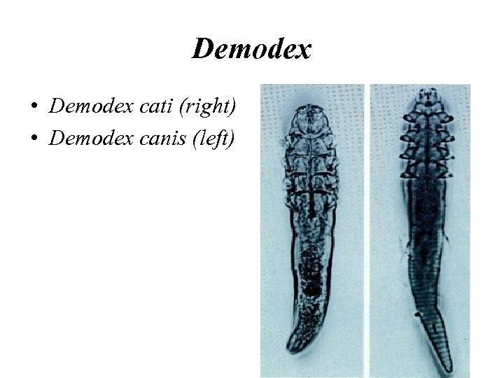 Demodex • Demodex cati (right) • Demodex canis (left)