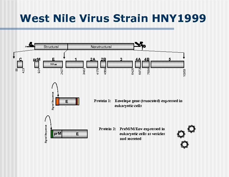 West Nile Virus Strain HNY 1999 Structural 5' C pr. M Nonstructural E 1