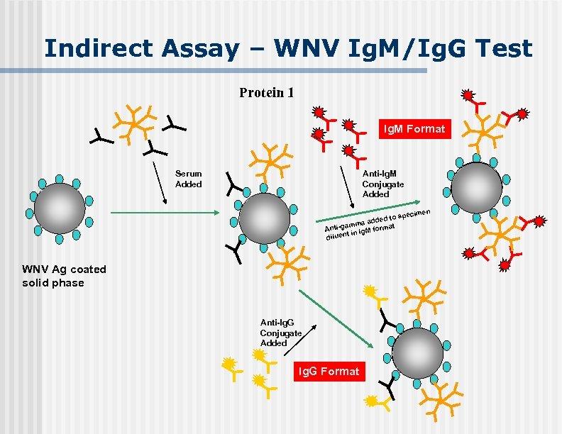 Indirect Assay – WNV Ig. M/Ig. G Test Protein 1 Ig. M Format Serum