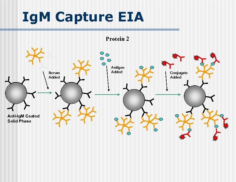 Ig. M Capture EIA Protein 2 Serum Added Anti-Ig. M Coated Solid Phase Antigen