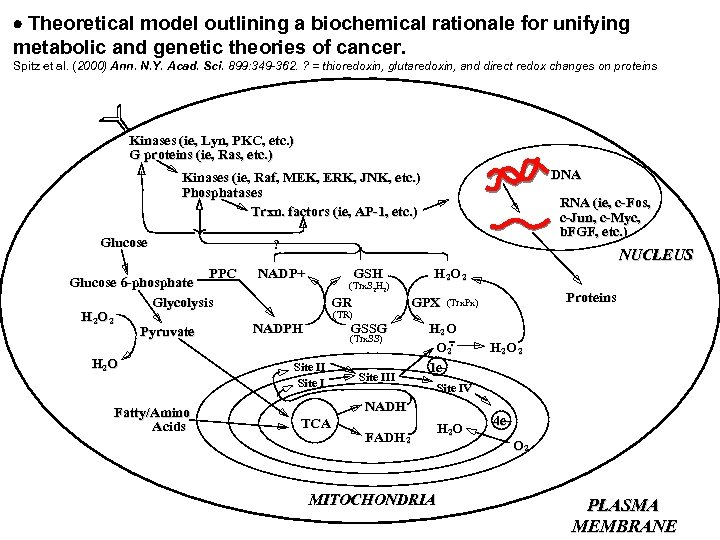 Theoretical model outlining a biochemical rationale for unifying metabolic and genetic theories of