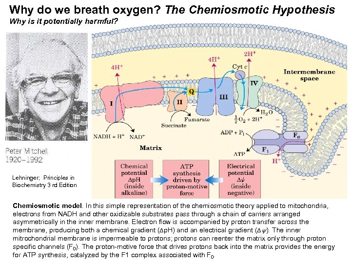 Why do we breath oxygen? The Chemiosmotic Hypothesis Why is it potentially harmful? Lehninger;