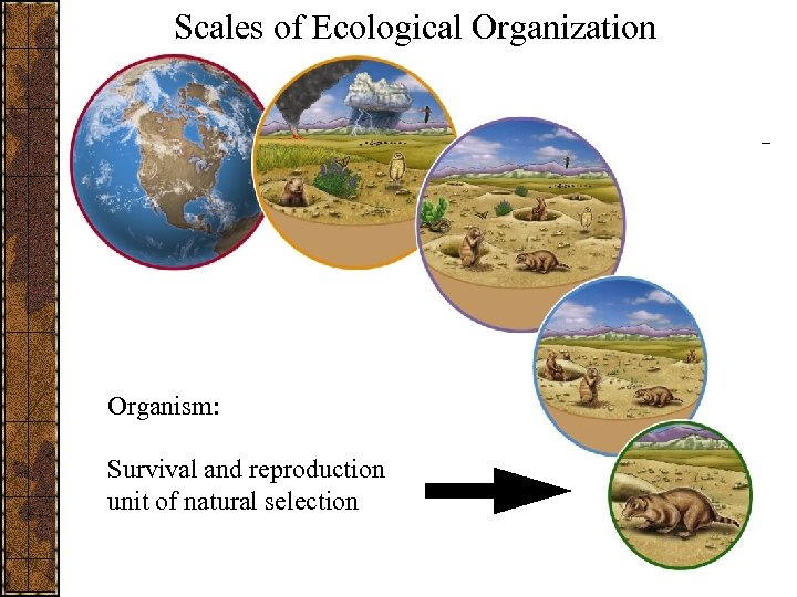 Scales of Ecological Organization Organism: Survival and reproduction unit of natural selection