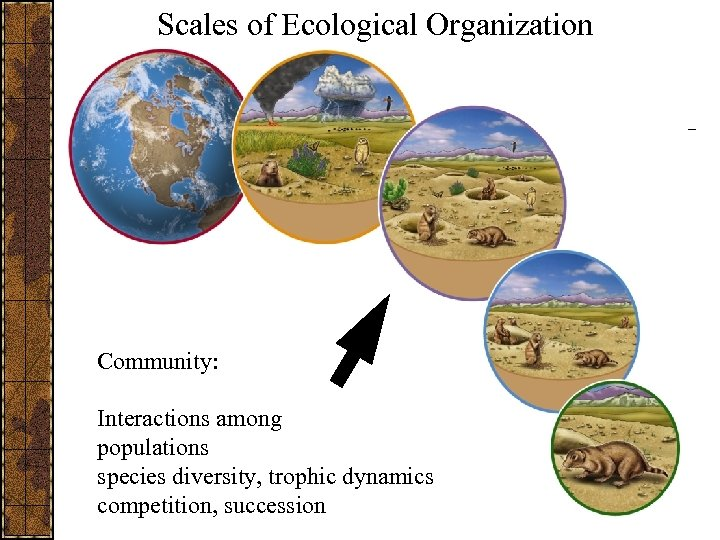 Scales of Ecological Organization Community: Interactions among populations species diversity, trophic dynamics competition, succession