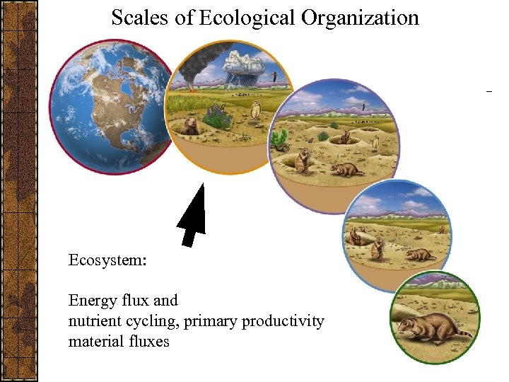 Scales of Ecological Organization Ecosystem: Energy flux and nutrient cycling, primary productivity material fluxes
