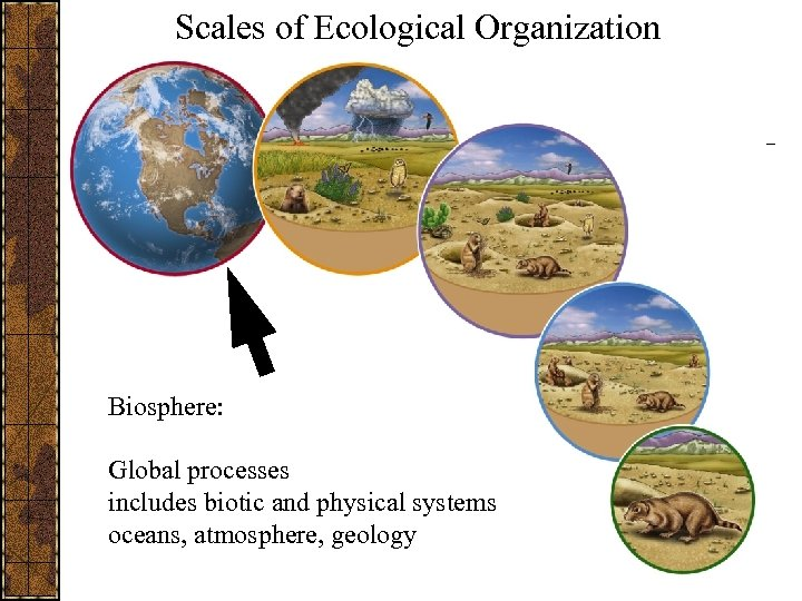 Scales of Ecological Organization Biosphere: Global processes includes biotic and physical systems oceans, atmosphere,