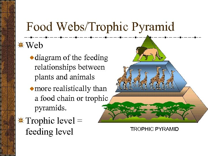 Food Webs/Trophic Pyramid Web diagram of the feeding relationships between plants and animals more