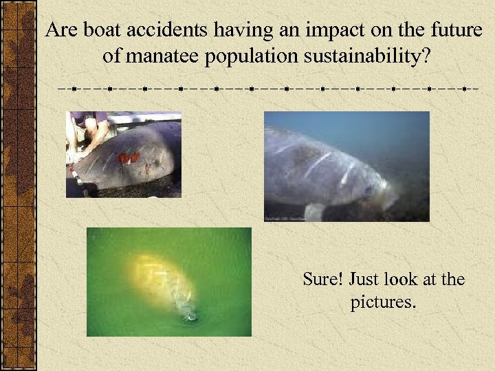 Are boat accidents having an impact on the future of manatee population sustainability? Sure!