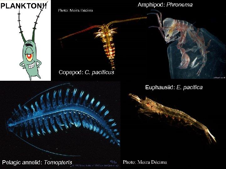 Amphipod: Phronema PLANKTON!! Copepod: C. pacificus Euphausiid: E. pacifica Pelagic annelid: Tomopteris
