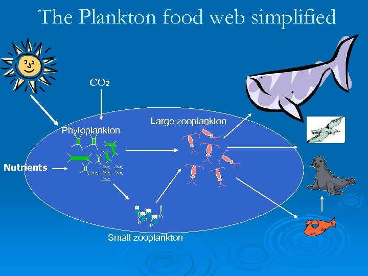 The Plankton food web simplified CO 2 Phytoplankton Large zooplankton Nutrients Small zooplankton