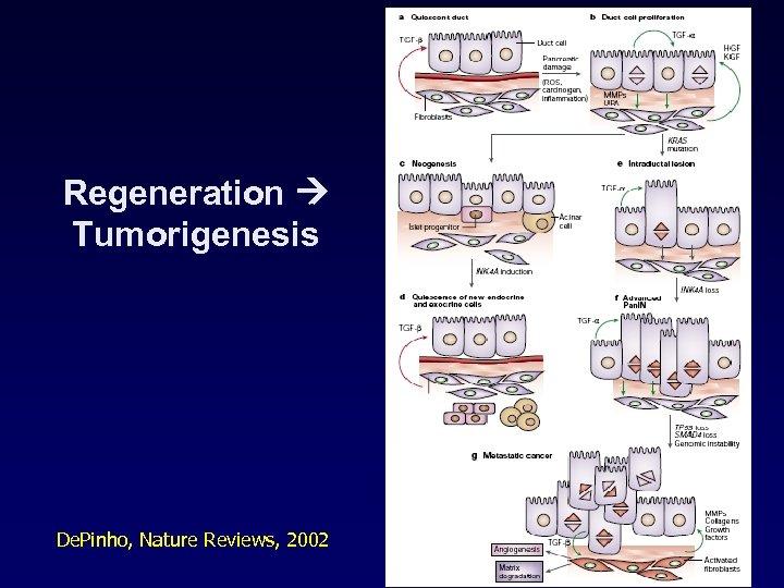 Regeneration Tumorigenesis De. Pinho, Nature Reviews, 2002
