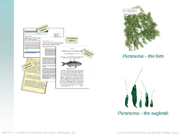Peranema – the fern Peranema – the euglenid 2007 12 11 - Coalition for