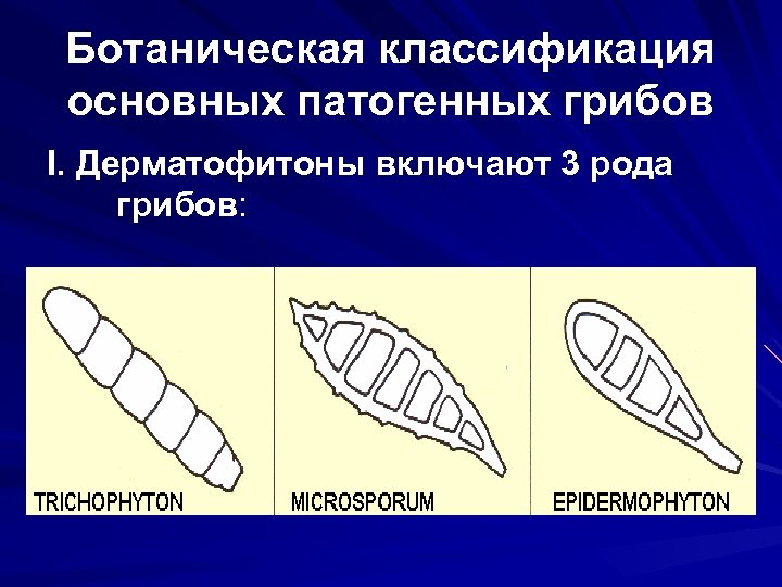 Ботаническая классификация основных патогенных грибов I. Дерматофитоны включают 3 рода грибов: