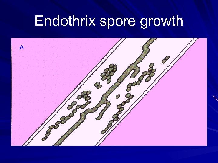 Endothrix spore growth
