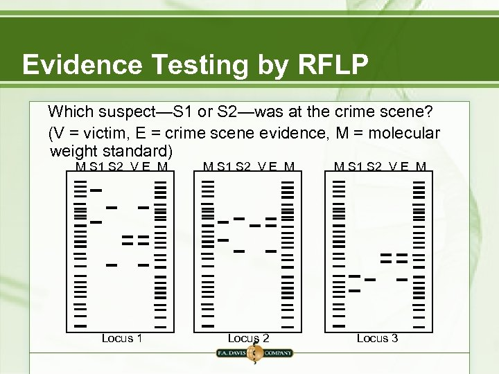 Evidence Testing by RFLP Which suspect—S 1 or S 2—was at the crime scene?
