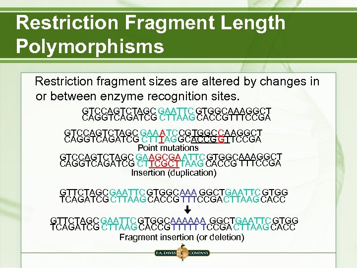 Restriction Fragment Length Polymorphisms Restriction fragment sizes are altered by changes in or between