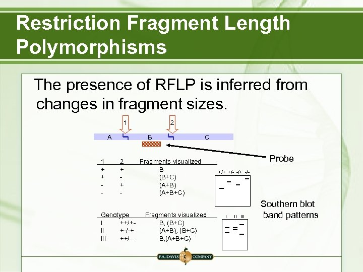 Restriction Fragment Length Polymorphisms The presence of RFLP is inferred from changes in fragment