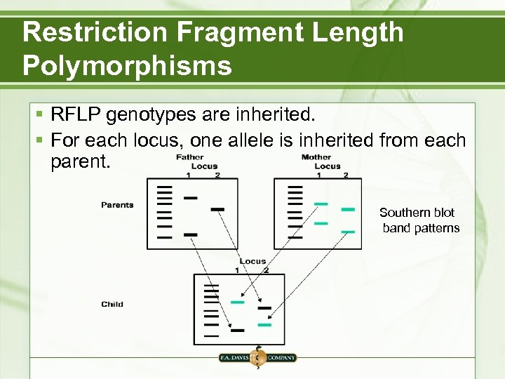 Restriction Fragment Length Polymorphisms § RFLP genotypes are inherited. § For each locus, one